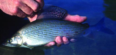 Stimmungsvolle Herbstfischerei auf Äschen