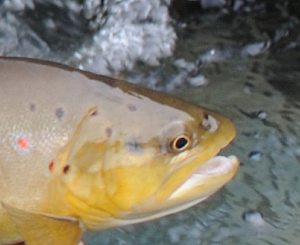 Bachforellenbericht – Saisonbericht am Wasser