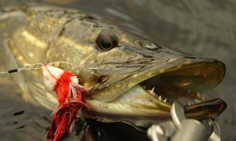 Fliegenfischen auf Hecht mit dem Belly Boot