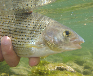 Äschen im Herbst – Feines Fliegenfischen mit der Nymphe