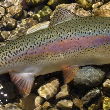 Frühlingsfischerei auf Forellen an der Traun