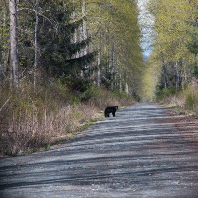 Bären sieht man häufig im Skeena Gebiet.